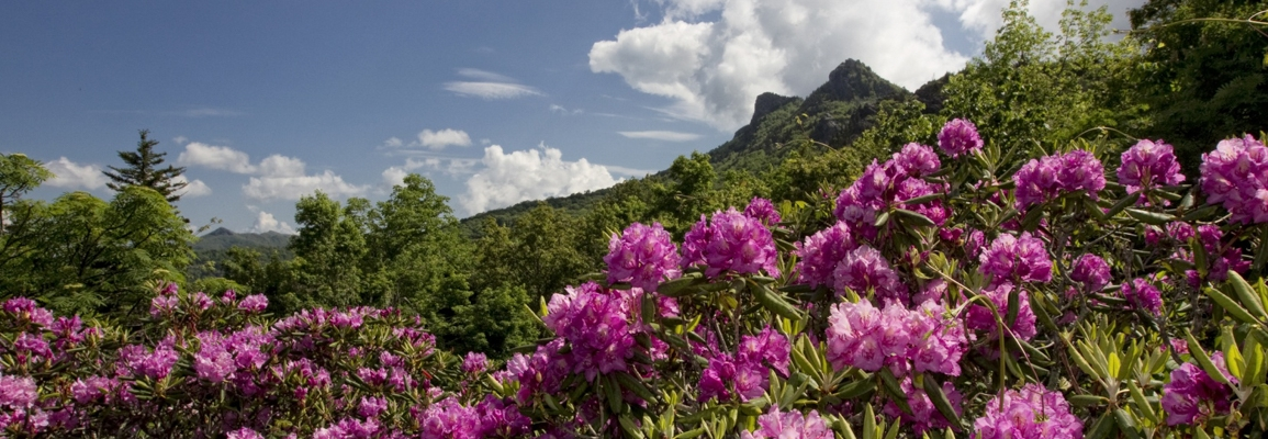 Rhododendron blooms on Grandfather Mountain