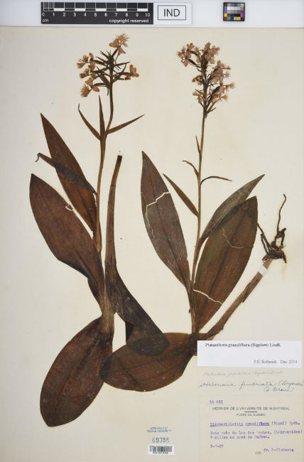 Fringed Orchid Specimen