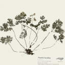 Herbarium speciment
